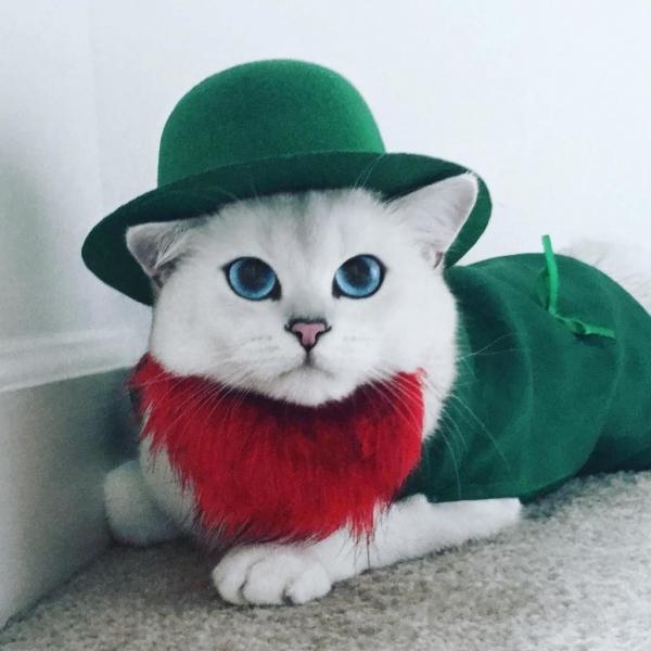 Коби-порода кошек с красивыми голубыми глазами (6 фото)