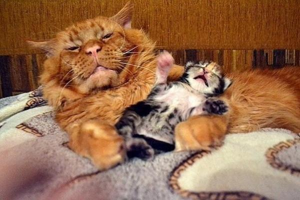 Заботливый кото-папа (9 фото)