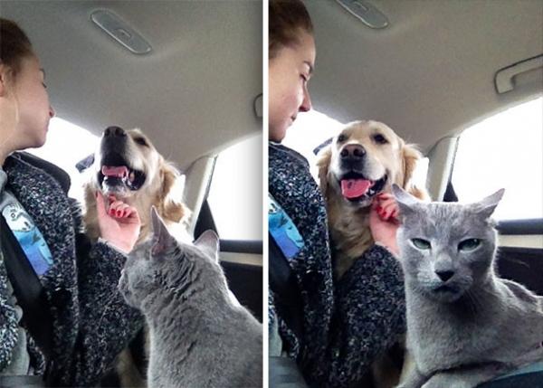 """Юмор: """"Оскар"""" в студию! Фото котиков, которые всё слишком драматизируют (11 фото)"""