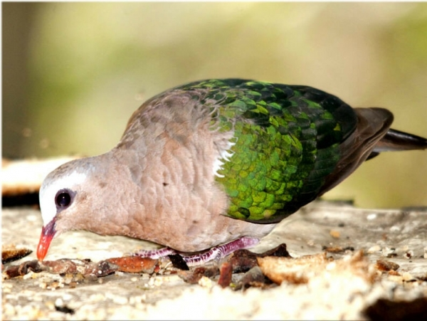 Очень красивая птица-изумрудный голубь (15 фото)