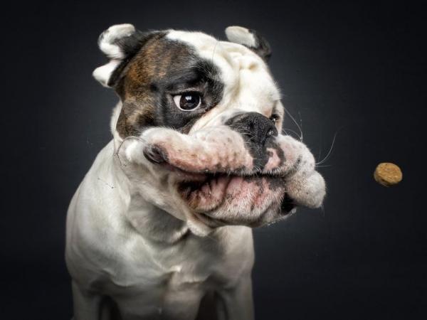 Эмоции собак в фотографиях Кристиана Вилера (13 фото)