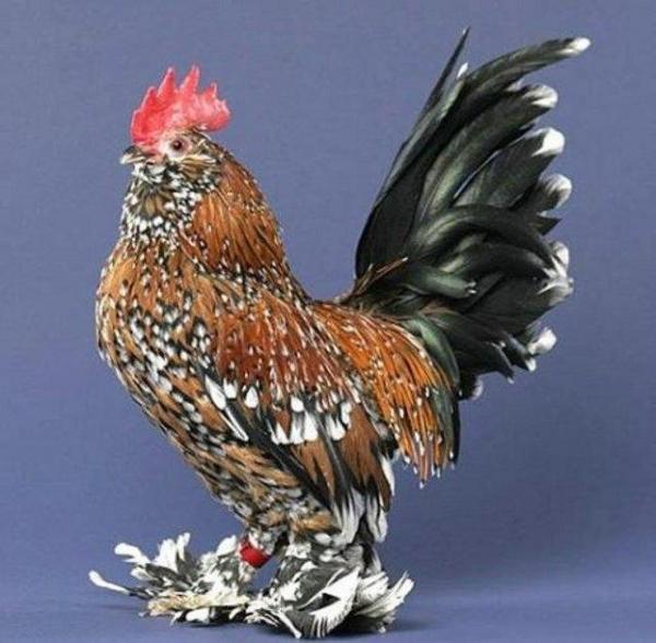 Домашняя птица -курица (25 фото)