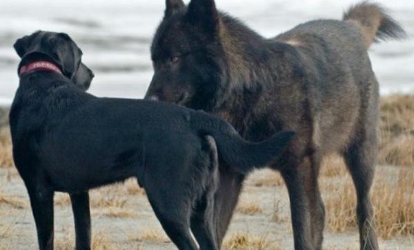 Волк подошёл к собаке вплотную: хозяин мог только смотреть