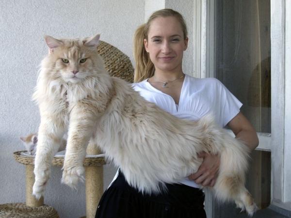 Царь котов — мейн-кун (15 фото)