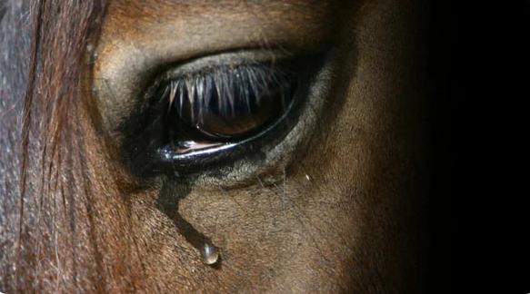 Дикие лошади выстроились в ряд, чтобы отдать последние почести уходящей кобыле (4 фото)