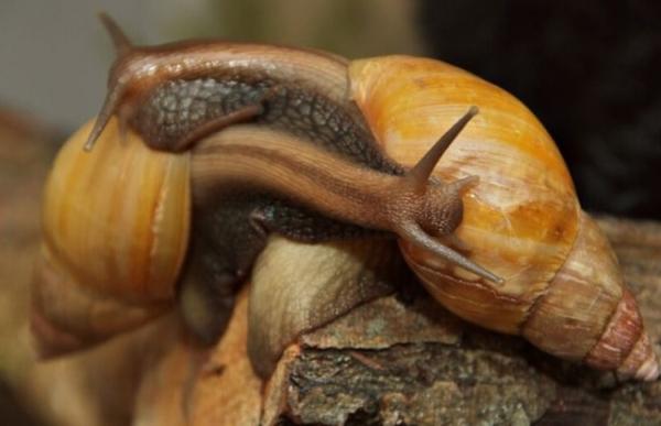 Гигантская ахатина или улитка-трансвестит (6 фото)