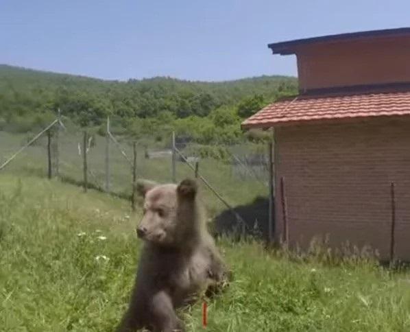 Медвежонок первый раз увидел траву (3 фото)