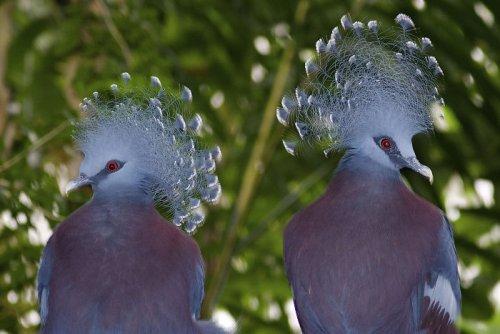 Самый красивый голубь в мире (20 фото)