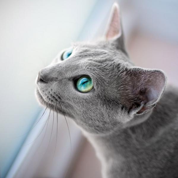 Русская голубая кошка (13 фото)