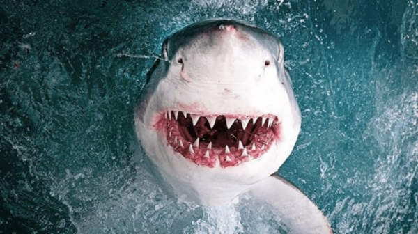 Акулы умнее, чем мы думаем (3 фото)