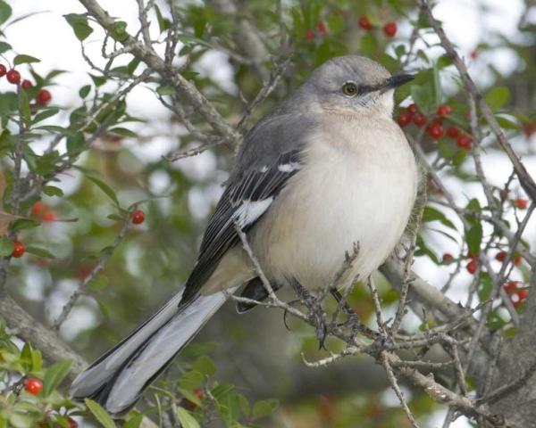 Настоящий тролль царства птиц-пересмешник (8 фото)