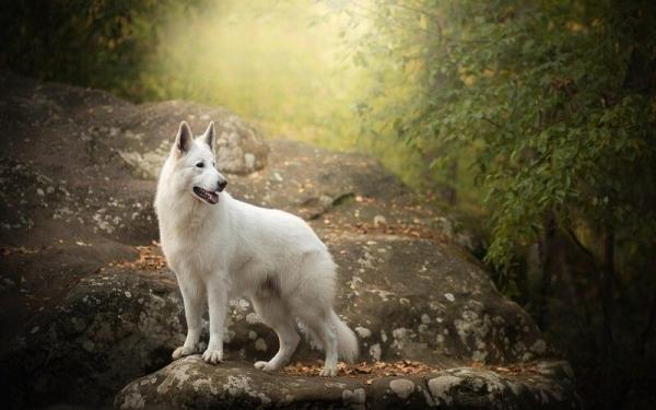 О породе: Белая швейцарская овчарка (6 фото)
