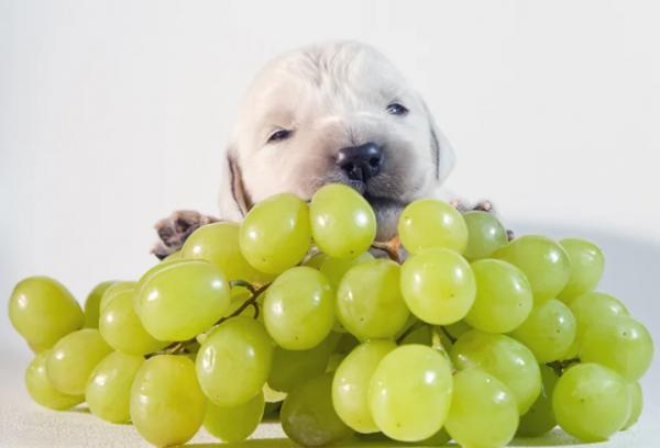 Почему виноград и изюм могут убить собаку