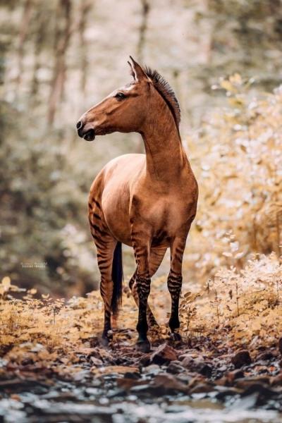 Зеброид или уникальная зебро-лошадь (11 фото)