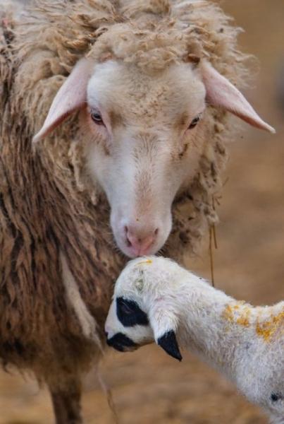 Нежные чувства  из мира животных (20 фото)