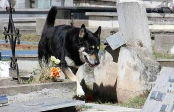 Ушёл из жизни пёс, проживший 11 лет на могиле хозяина (4 фото)