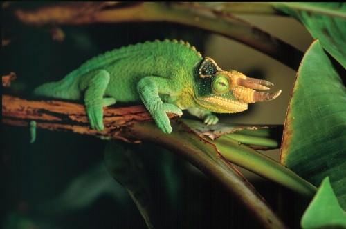 Хамелеон Джексона или трехрогий хамелеон (5 фото)