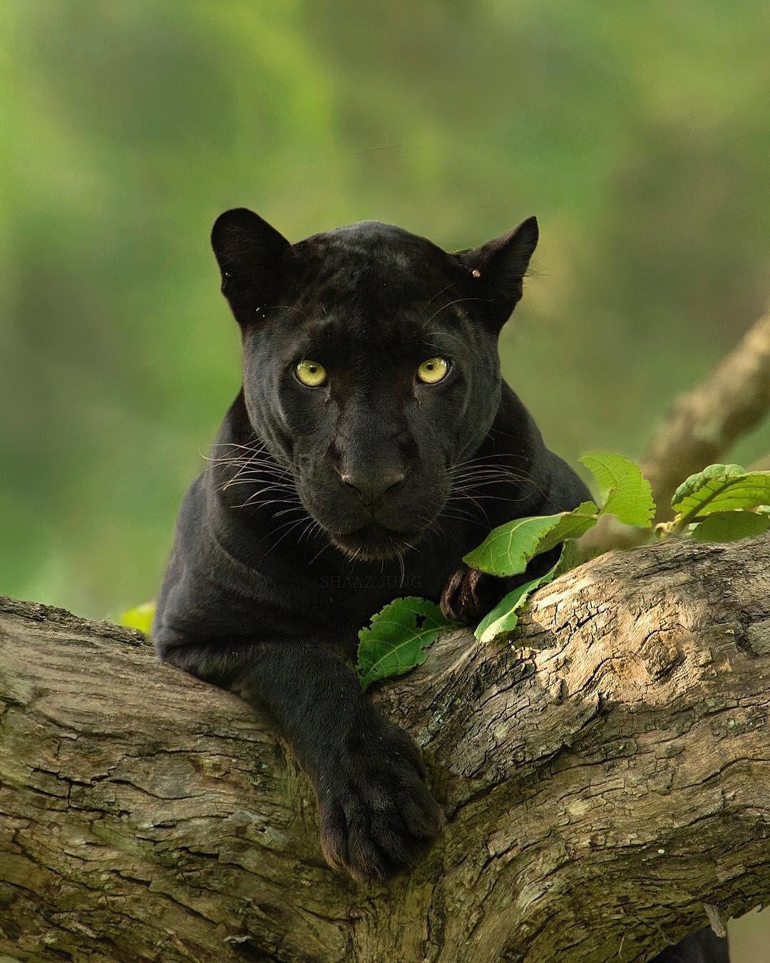 мужчина пума черная фото животное несколько лет