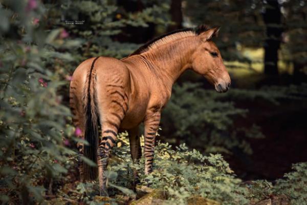 Зорс. Реальное животное или сказочное существо? (5 фото)
