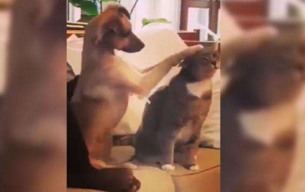 Забавное видео: Пёс показал, как правильно гладить кошку