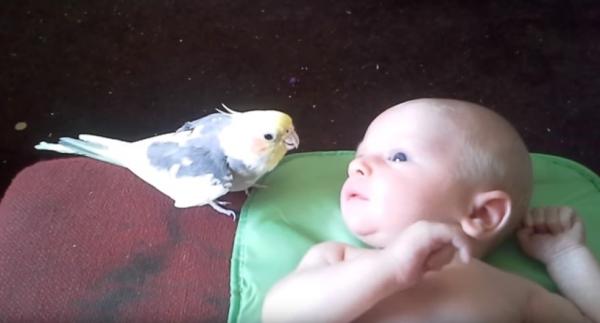 Юмор: Попугайчик поёт колыбельную для новорожденного малыша. Просто прелесть!