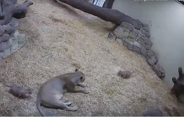 Юмор: Когда ты мама, покой тебе только снится, даже если ты - львица