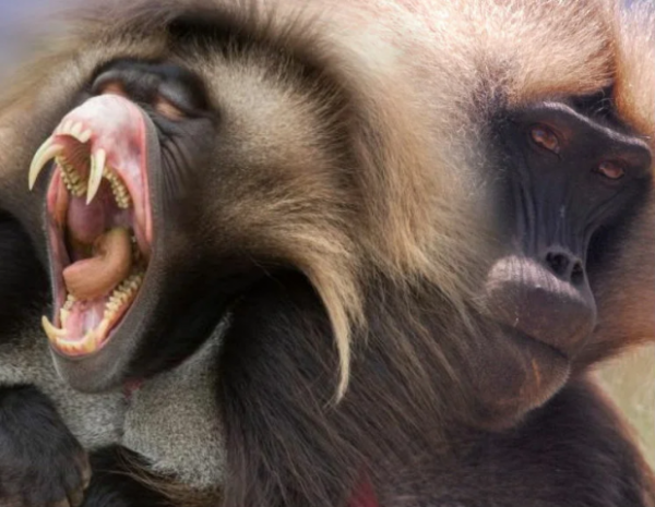 Гелада — уникальная собакоголовая обезьяна (5 фото)