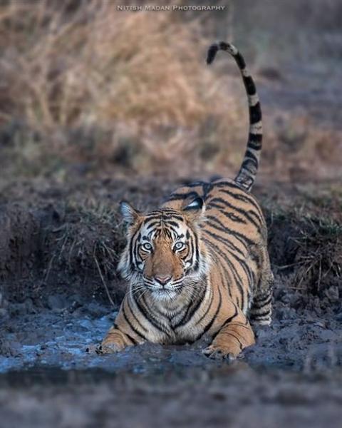 Величественные тигры в снимках индийского фотографа (10 фото)
