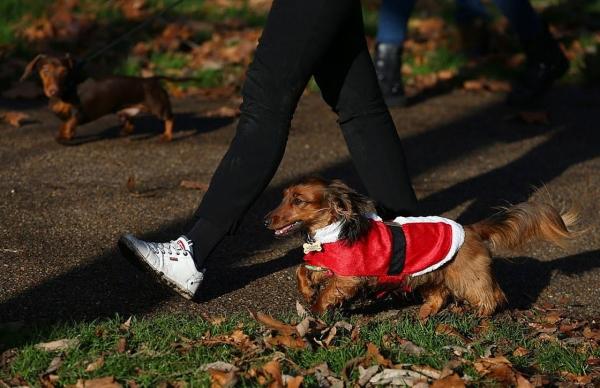 Ежегодная прогулка такс по лондонскому Гайд-парку (17 фото)