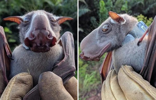 Летучие мыши с головами собак ( 4 фото)