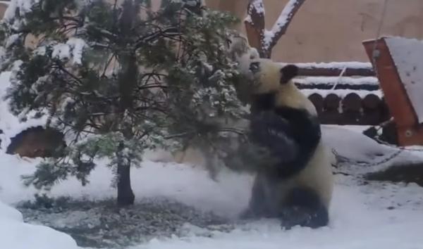 Юмор: Панда играет с заснеженной елкой