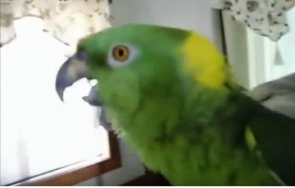 Юмор: Попугай поёт лучше, чем многие современные звёзды. Угадаете мелодию?