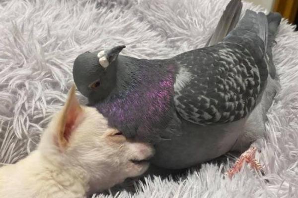 Бескрылый голубь подружился со щенком, который не может ходить и это идеальная дружба (5 фото)