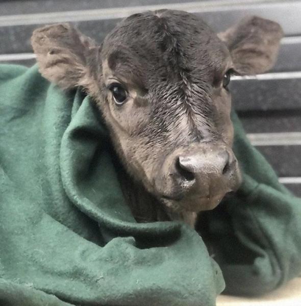 Чудесные и очаровательные коровы (16 фото)