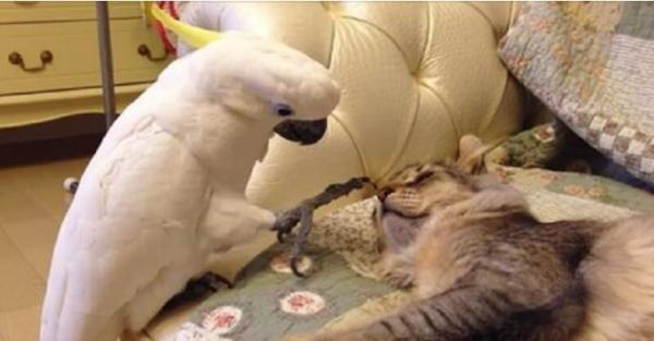 Забавное видео: Засланный казачок. Попугай научился мяукать и пытается сойти за своего в кошачьей компании