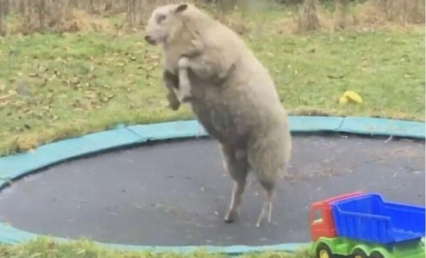 Юмор: Жизнь одной овечки была весьма уныла, пока она не обнаружила... батут