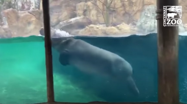 Юмор: Когда в душе ты дельфин, а родился бегемотом