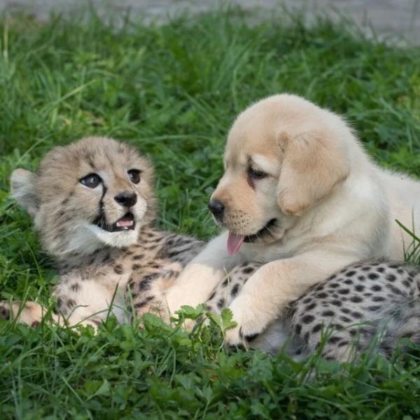 Необычная дружба между животными разных видов (30 фото)