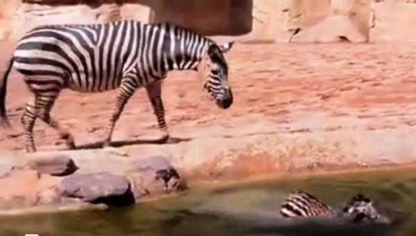 Спасение новорожденной зебры (5 фото)