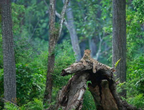 Фотограф дикой природы запечатлел редкую чёрную пантеру, бродящую по индийским джунглям (10 фото)