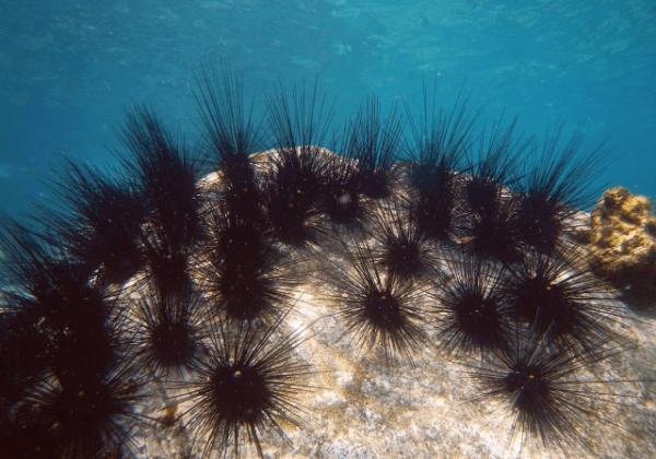 Интересные факты про морских ежей (8 фото)