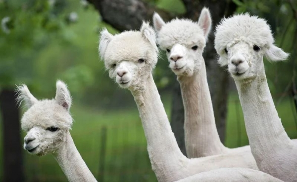 Интересные факты об альпака (6 фото)