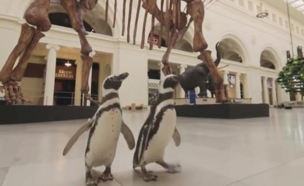 Юмор: Пингвины прогулялись по музею