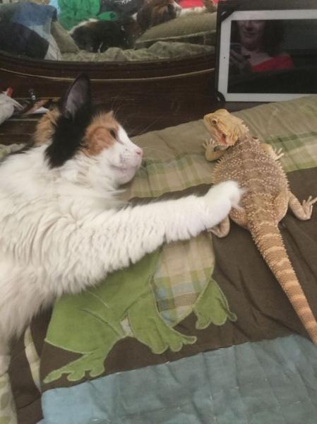 Кошки и ящерицы, которые неожиданно стали друзьями (29 фото)