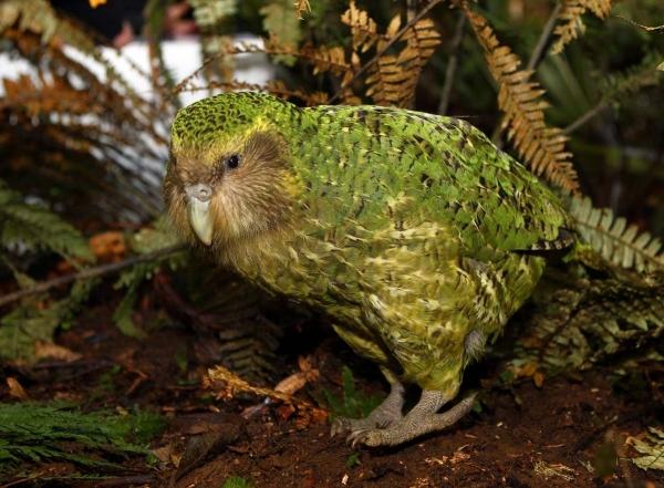Нелетающие птицы,дожившие до наших дней (10 фото)