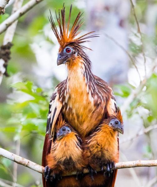 Как выглядит самая дурно пахнущая птица в мире (4 фото)