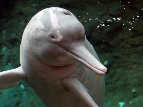Амазонский дельфин (6 фото)