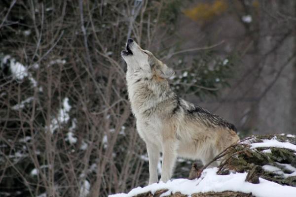 Интересные факты о жизни волчьей стаи (5 фото)