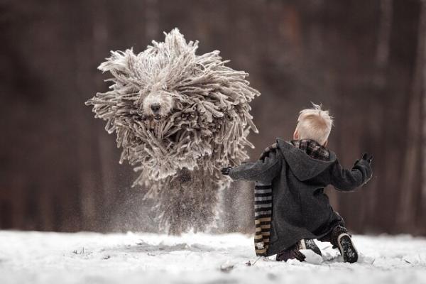Комондор - собака с дредами (6 фото)