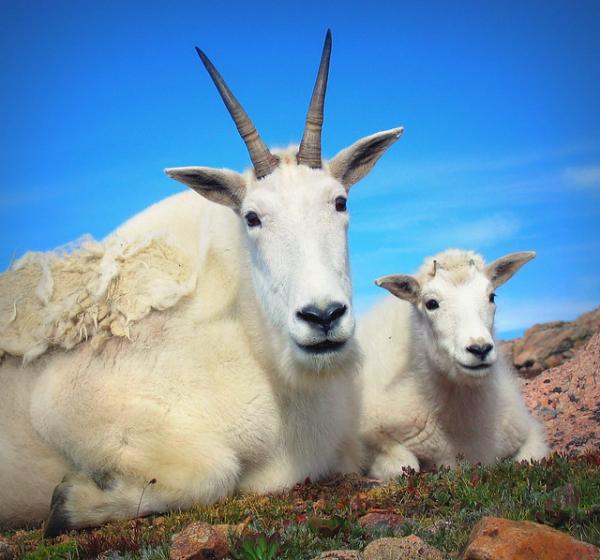 Снежная коза (5 фото)
